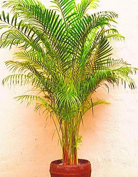 鉢物・観葉植物