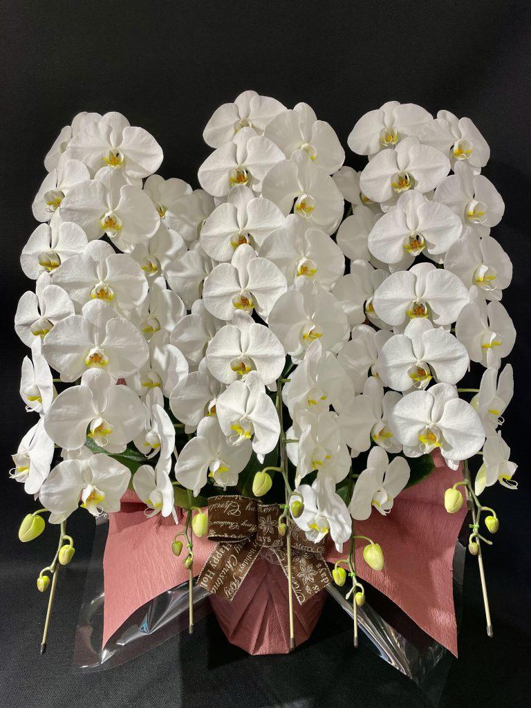 お祝い胡蝶蘭